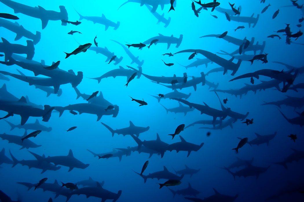 Die großen Hammerhai Schulen sind einer der Gründe für Tauchgänge an Wolf und Darwin.