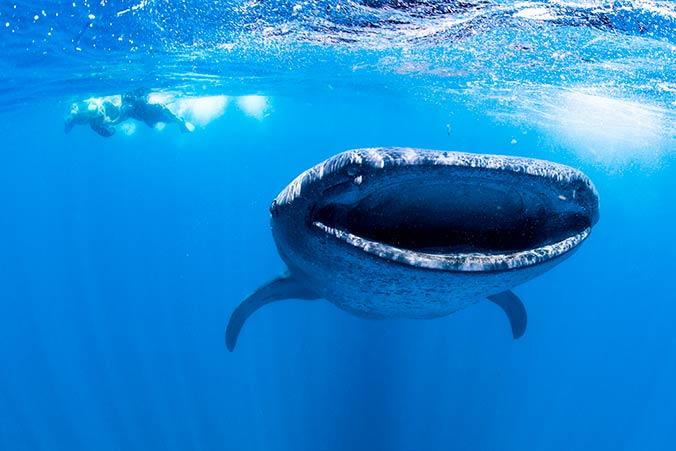 Tauchen mit Walhaien vor der Isla Mujeres