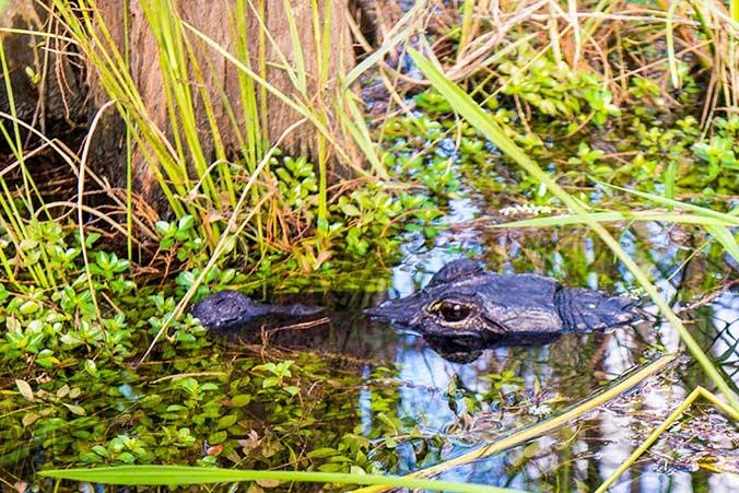 Bewohner des Alligatorenlochs