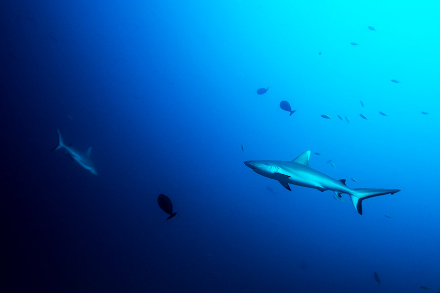 Grauhaie auf den Malediven