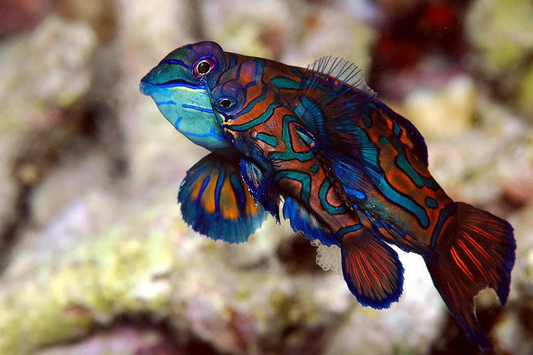 Mandarinfische Lembeh