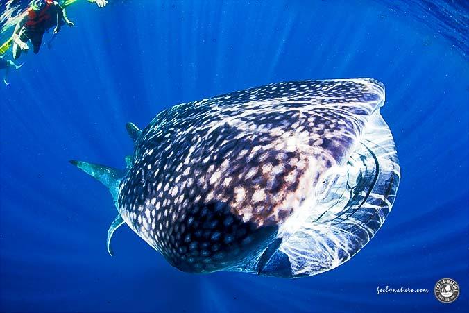Walhai Schnorcheln Cenote Adventures