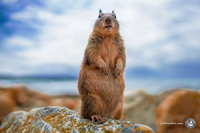 Eichhörnchen in Carmel