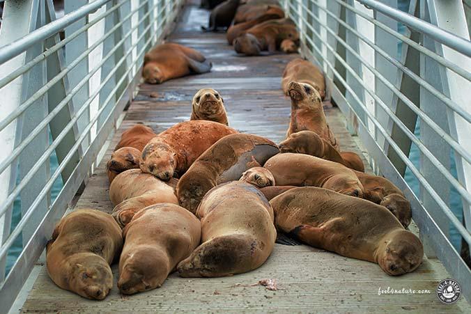 Seehunde Santa Cruz