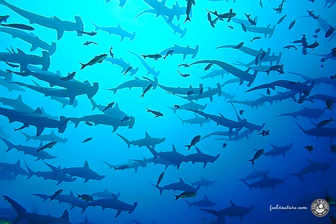 Galapagos Hammerhaie