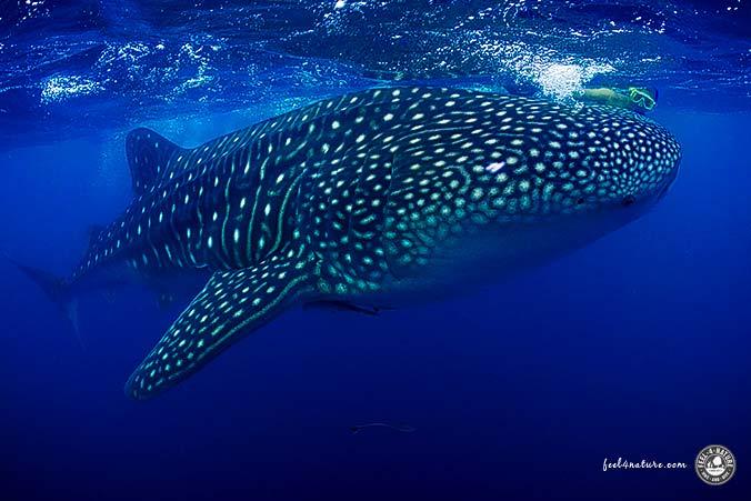 Walhai Malediven