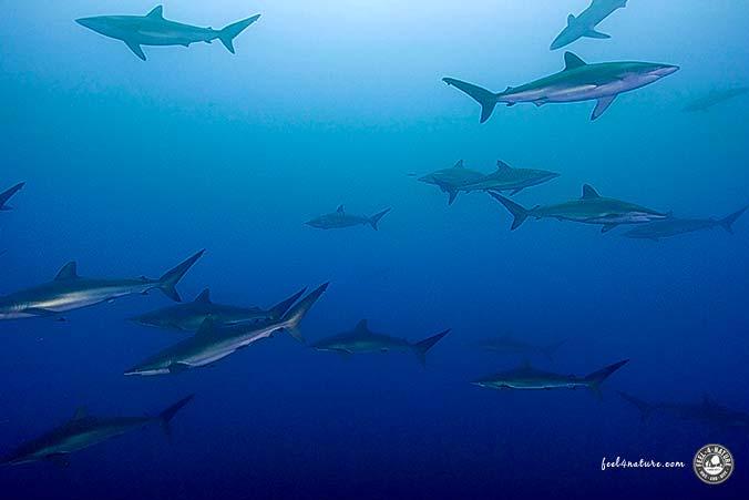 Seidenhaie Malpelo