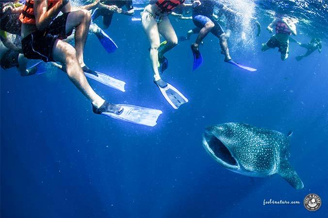 Schnorchler - Schwimmer & Walhai