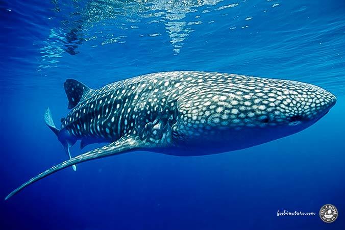 Walhai bei Tauchgang