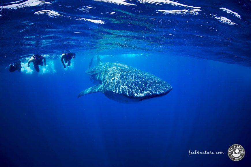 Walhai schwimmen & schnorcheln