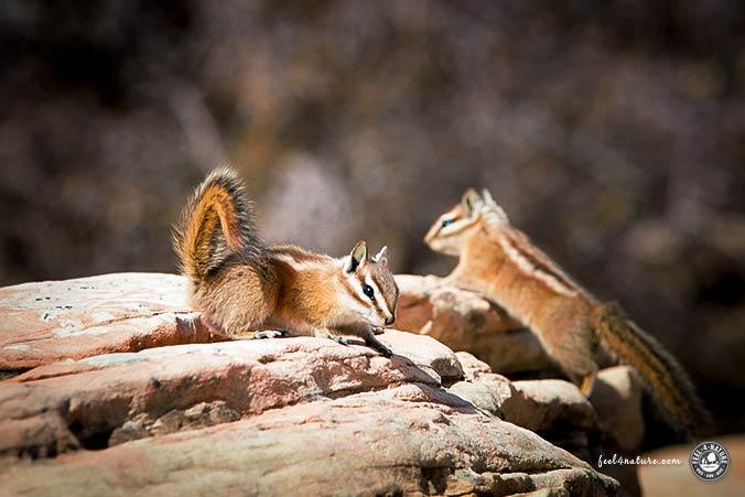 Streifenhoernchen Zion Nationalpark