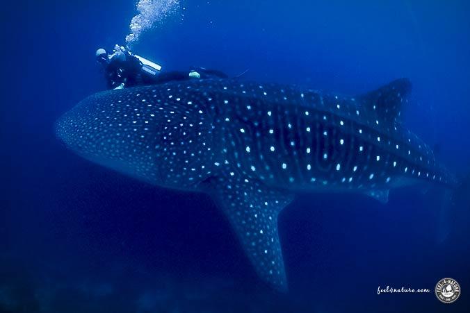 Tauchgang Walhai