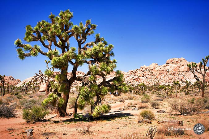 Nationalparks Südwesten - Joshua Tree