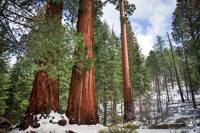 Nationalparks Südwesten - Sequoia