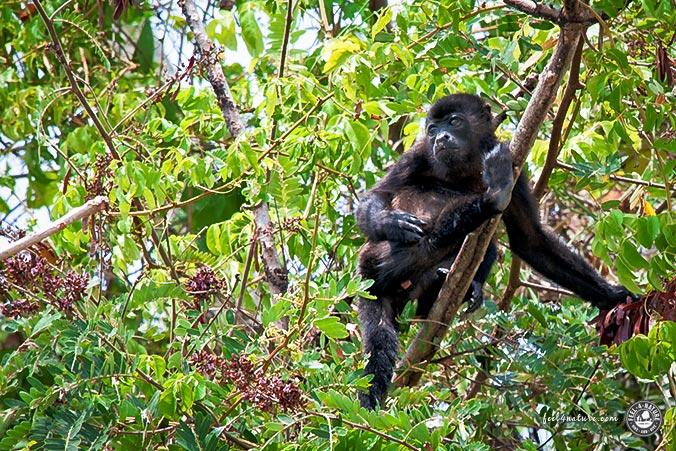 Brüllaffen Regenwald Panama