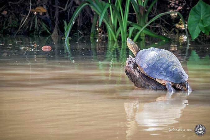 Schildkröte Panamakanal