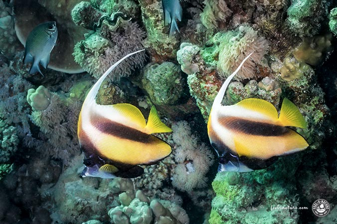 Wimpelfische The Oasis Hausriff