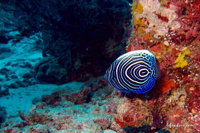Tauchen Malediven - Kaiserfisch