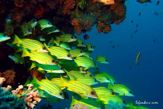 Malediven - Blaustreifen Snapper