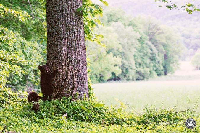 Bärenbabies Smoky Mountains