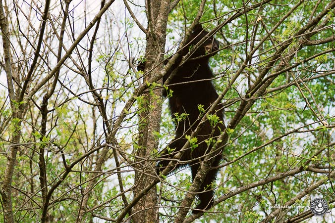 Bär im Baum