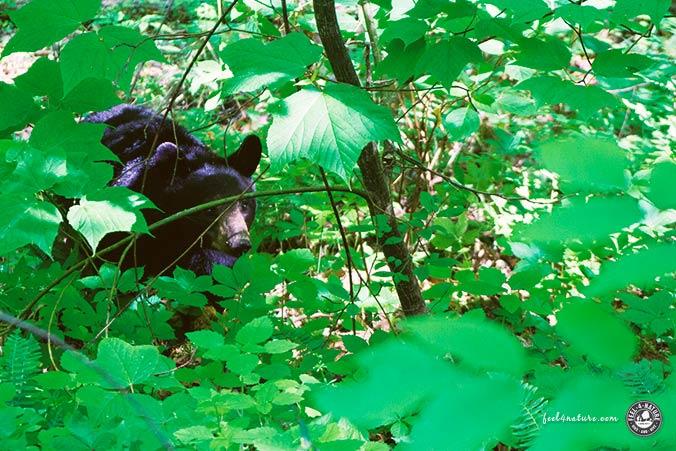 Schwarzbär Wanderung