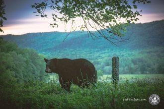 Smoky Mountains Bären