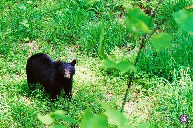 Appalachian Trail Bär
