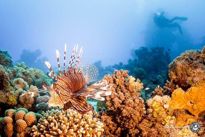 St.Johns Rotfeuerfisch
