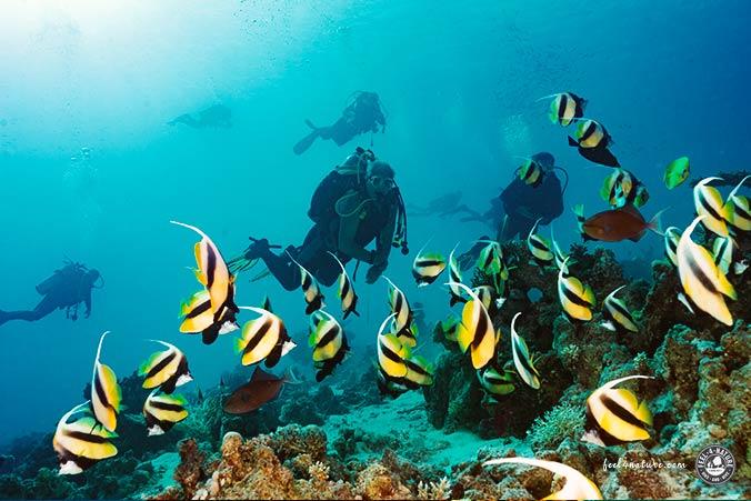 Tauchsafari Ägypten Wimpelfische