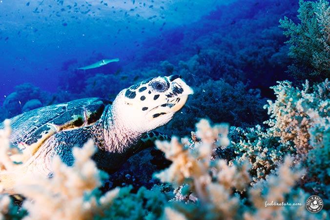 Brother Islands Schildkröte