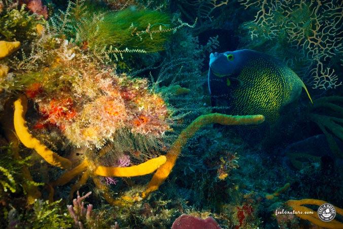 Kaiserfisch Cozumel Tauchen