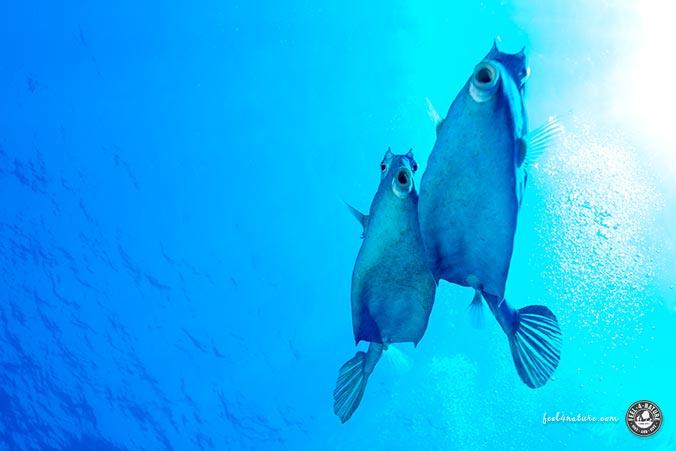 Pyramidenkofferfisch Tauchen Cozumel