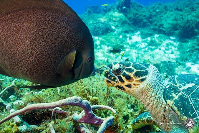 Schildkröte Tauchen Cozumel