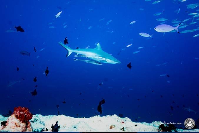Grauhai Malediven Tauchsafari