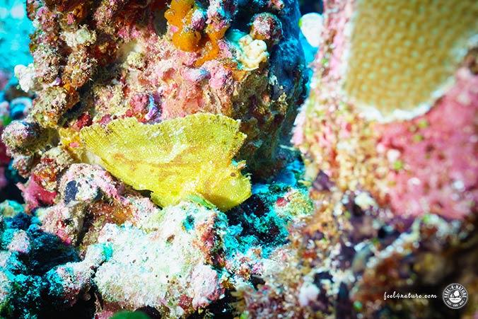 Tauchsafari Malediven Schaukelfisch
