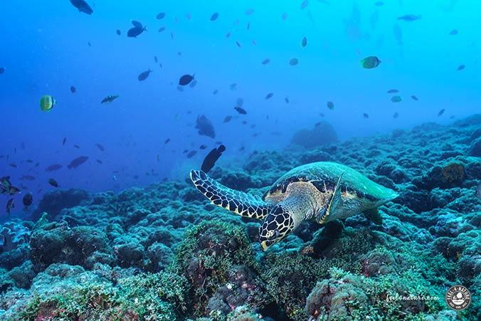 Malediven Schildkröte Tauchen
