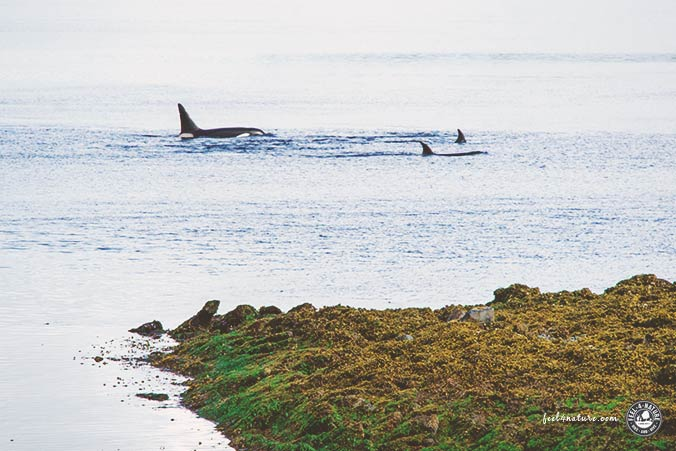 Vancouver Island Orcas