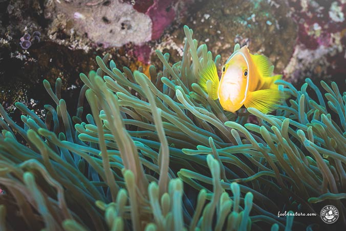 Malediven Clownfische
