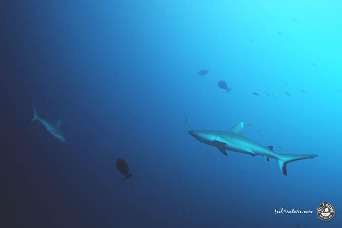 Malediven Haie