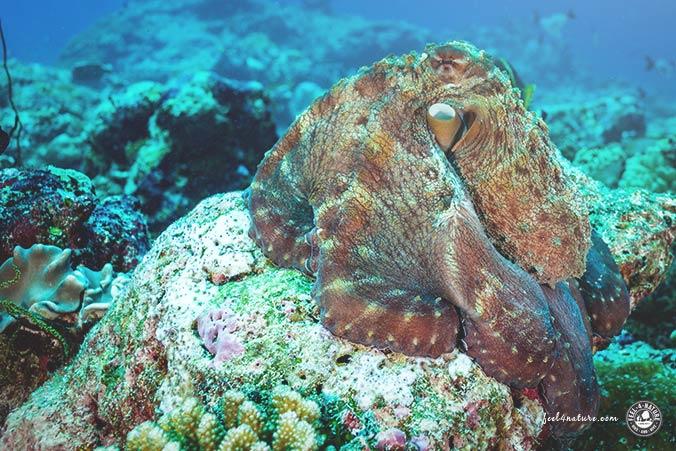 Malediven Oktopus