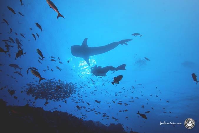 Malediven Walhai