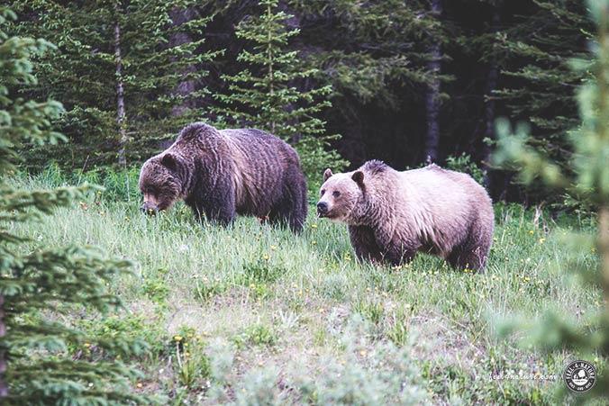 Kanada Grizzlybären
