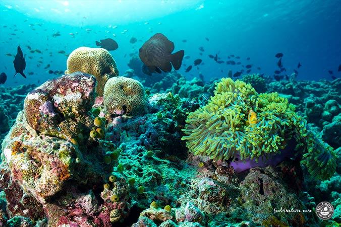 Baa Atoll Riffe