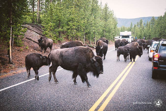 Bisons Strasse Yellowstone