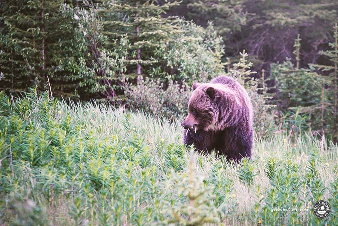 Grizzlybär Yellowstone Nationalpark