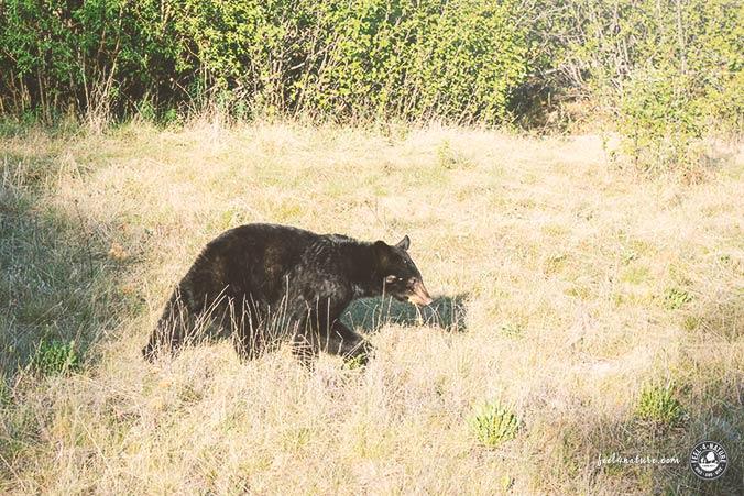 Schwarzbär Futtersuche Yellowstone NP