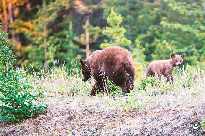 Schwarzbären Yellowstone