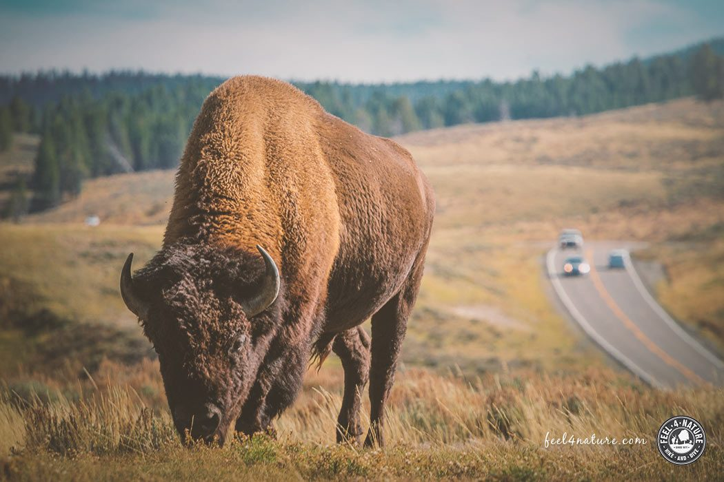 Yellowstone Nationalpark Tiere