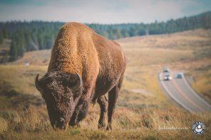 Yellowstone Nationalpark, Tiere die Du im Park sehen kannst